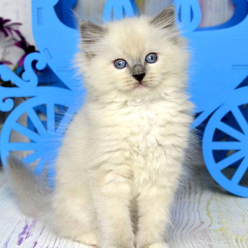 140 Bulochka    Ragdoll female kitten