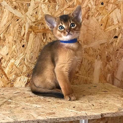 Yoshi purebred Abyssinian male kitten
