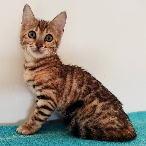 107 Vanessa  purebred Bengal female kitten