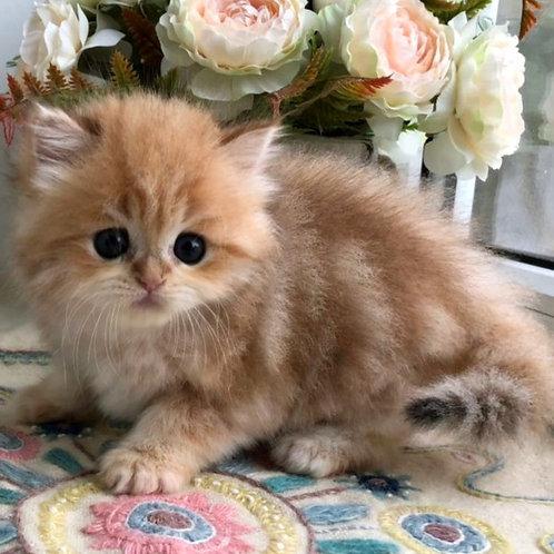 512 William  Scottish straight longhair male kitten
