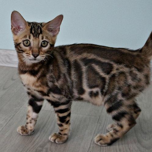 175 Bassadora  purebred Bengal female kitten