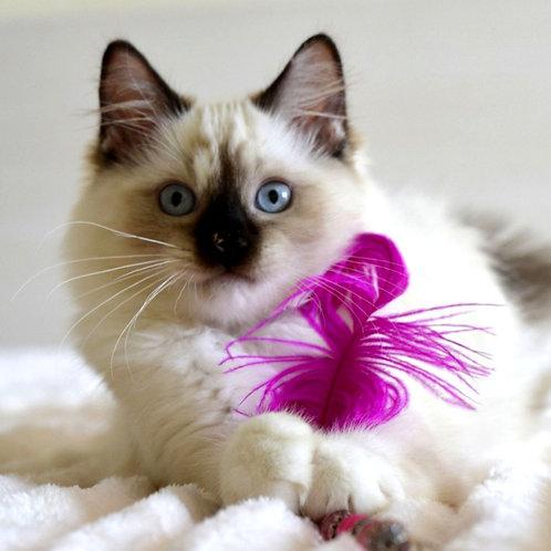 312 Knopochka   Ragdoll female kitten