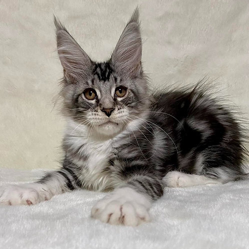 780 Simka   Maine Coon female kitten