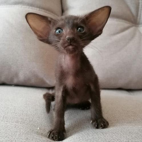 436 Kris   Oriental male kitten