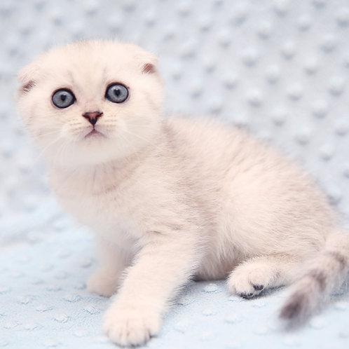 937 Leon   Scottish fold shorthair male kitten