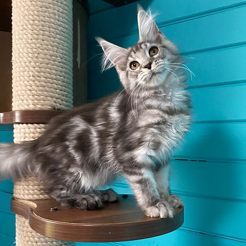 Koketka Maine Coon female kitten