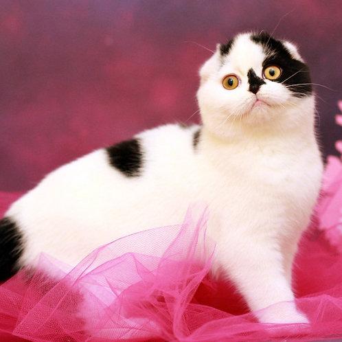602 Milton Scottish fold shorthair male kitten