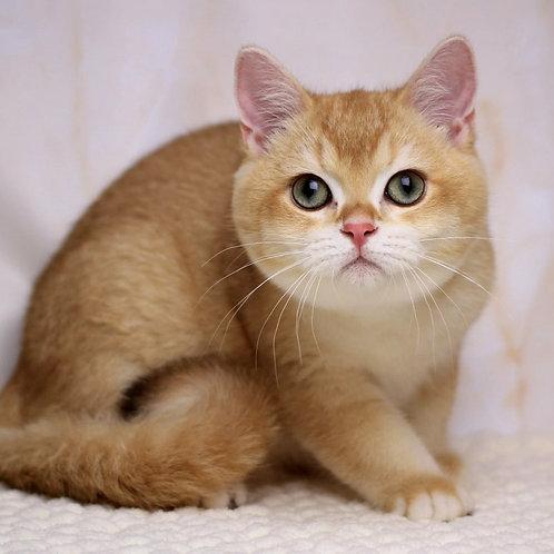 961 Luis  British shorthair male kitten