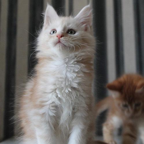 Zefir Maine Coon male kitten