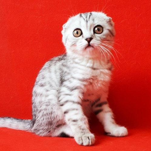 574 Romana   Scottish fold shorthair female kitten