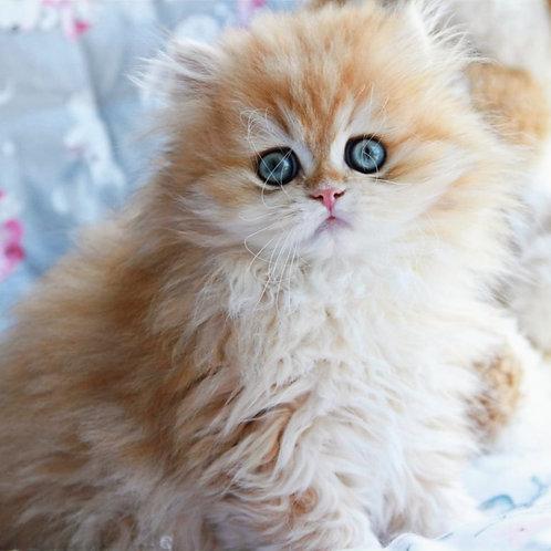 647 Daniel  British longhair male kitten