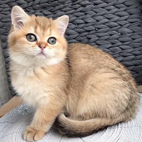 301 Uliana   British shorthair female kitten