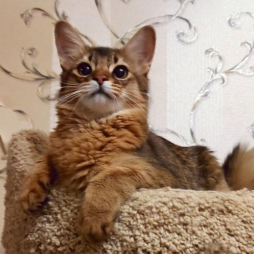 103 Barbara  purebred Somali female kitten
