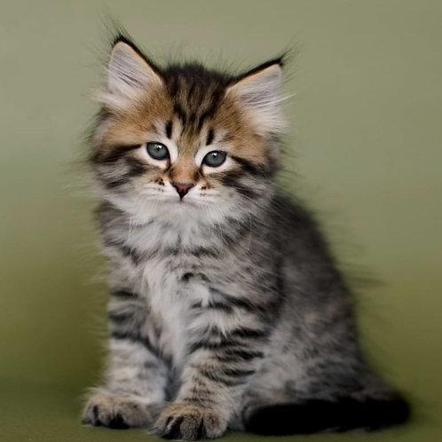 71 Caballero     Siberian male kitten
