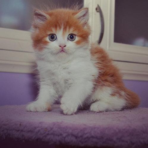 Angel Scottish straight longhair male kitten