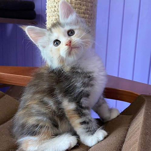 Irena Maine Coon female kitten