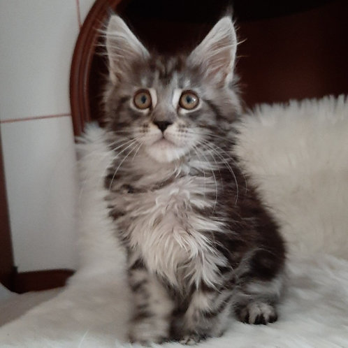 728 Sonya Maine Coon female kitten