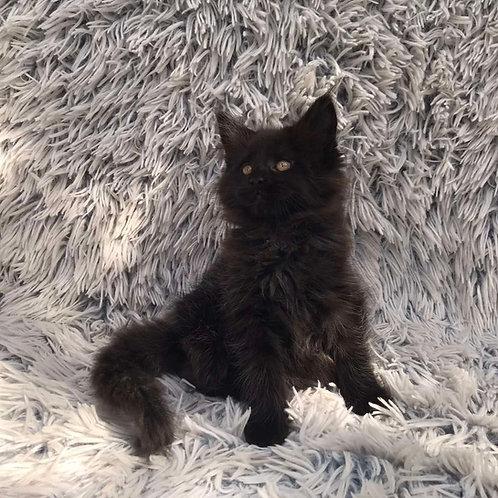 Marissa Maine Coon female kitten