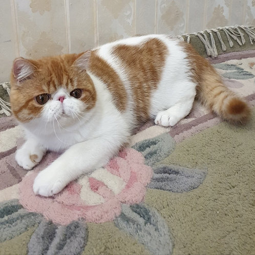 George Exotic shorthair male kitten