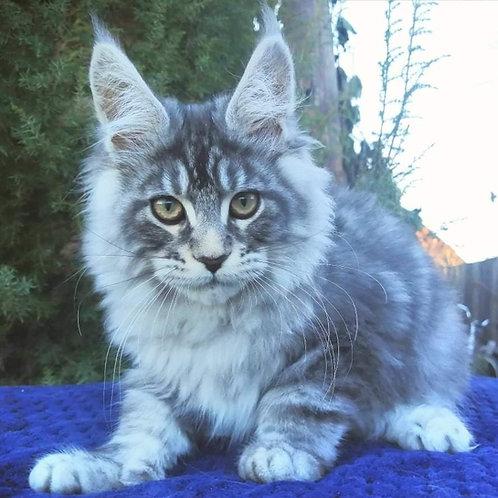 881 Urban  Maine Coon male kitten