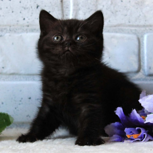 351 Malta      British shorthair female kitten