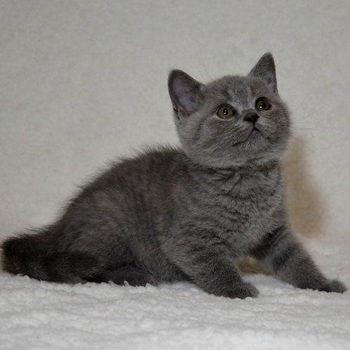 341 Harold   British shorthair male kitten