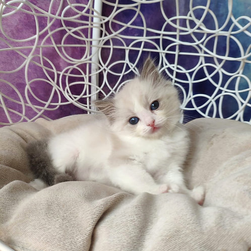 Tim Ragdoll male kitten