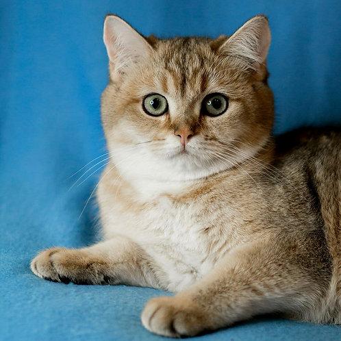371 Hanna   British shorthair female kitten