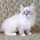 Thumbnail: 324 Ofelia  Siberian female kitten