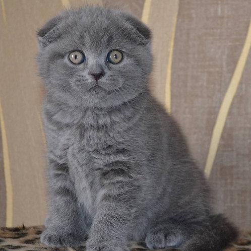 453 Narnia      Scottish fold shorthair female kitten
