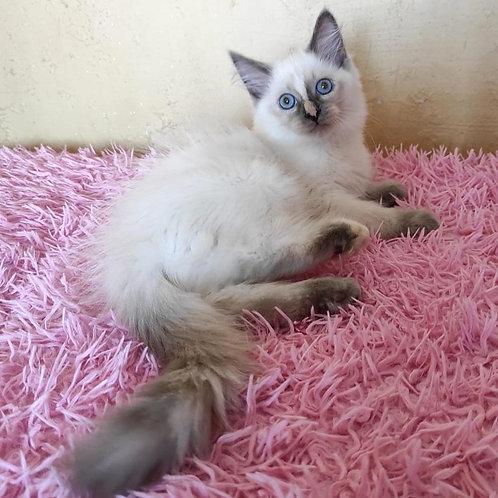 231 Nimfeya    Siberian female kitten