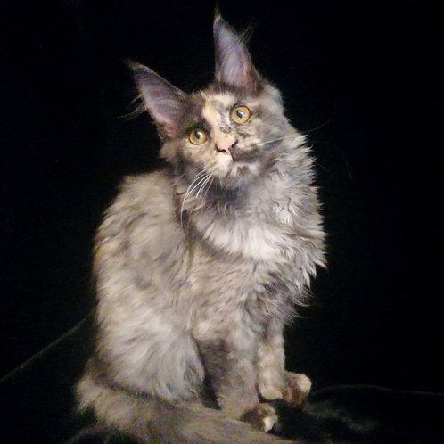 468 Elly  Maine Coon female kitten