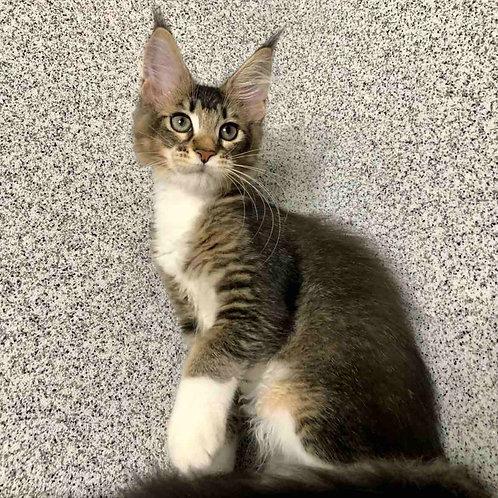 596 Tango  Maine Coon female kitten