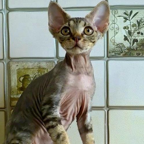 586 Izot  male kitten Devon Rex