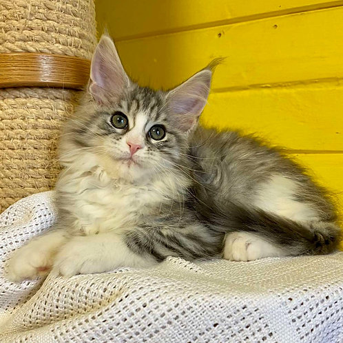 95 Historia    Maine Coon female kitten