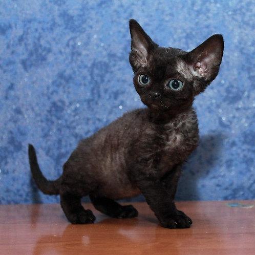 Merilyn female kitten Devon Rex