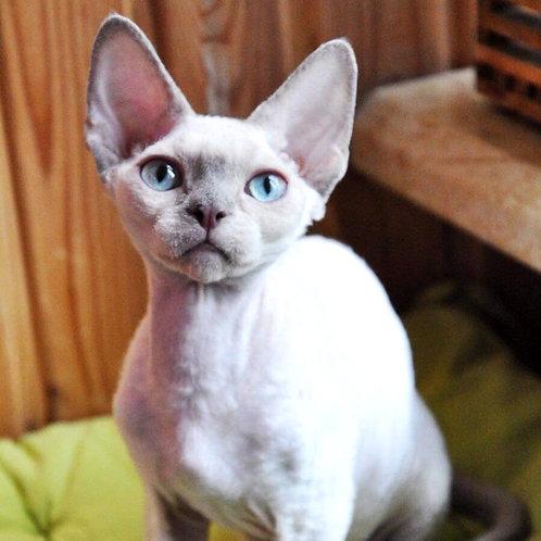 356 Gray   male kitten Devon Rex