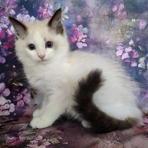 182 Ninette  purebred Ragdoll female kitten