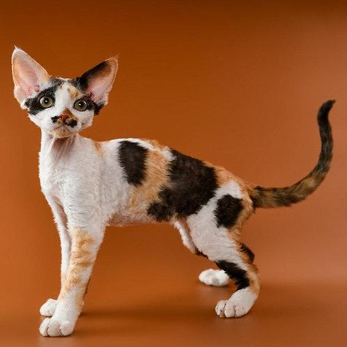336 Quinny female kitten Devon Rex