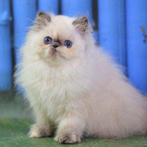 96 Penny   Persian  female kitten