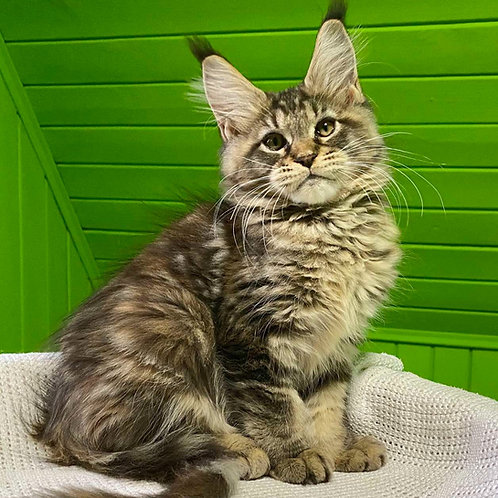 548 Ameliya Maine Coon female kitten