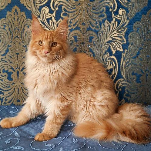 364 Felicia    Maine Coon female kitten