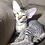Thumbnail: 574 Rokot Sanchez   male Peterbald kitten