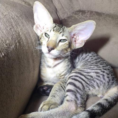 574 Rokot Sanchez   male Peterbald kitten