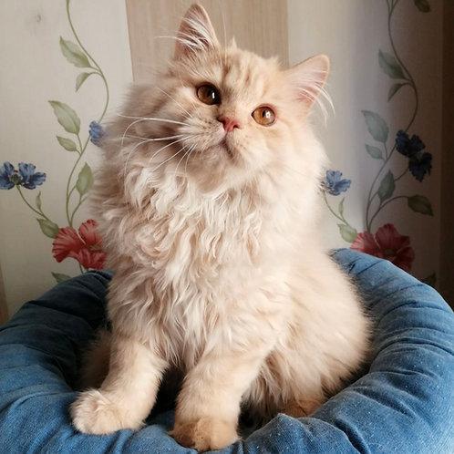360 Ostin     Selkirk straight longhair male kitten