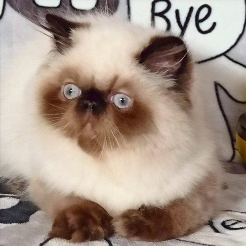 10 Elvis Persian  male kitten