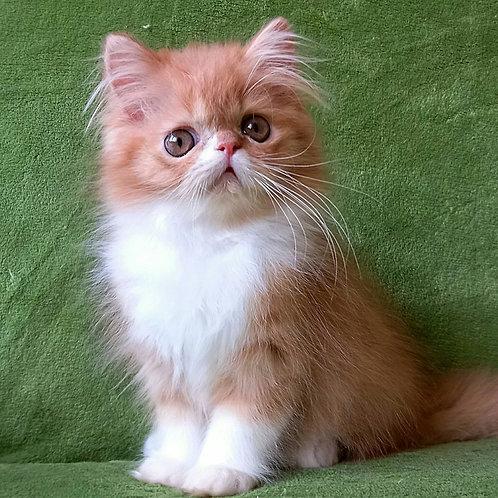 169 Higgins Professor   Persian  male kitten