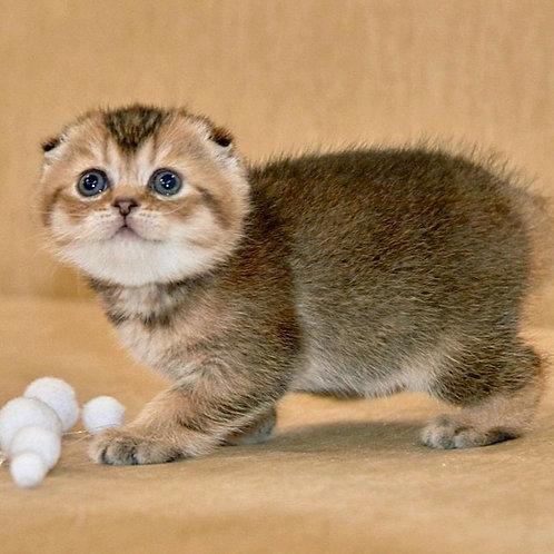 585 Geneva  Scottish fold shorthair female kitten