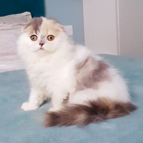 Lavanda Scottish fold longhair female kitten