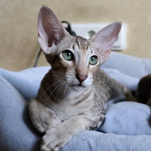 517 Fenix   Oriental male kitten